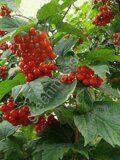 Калина-обыкновенная-красная