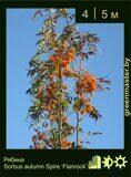 Рябина-Sorbus-autumn-Spire-'Flanrock'