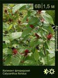 Каликант-флоридский-Calycanthus-floridus
