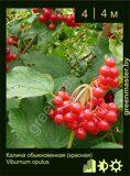 Калина-обыкновенная-(красная)-Viburnum-opulus