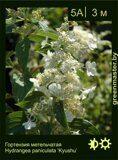 Гортензия-метельчатая-Hydrangea-paniculata-'Kyushu'