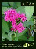Спирея-японская,-Spiraea-japonica-'Dart's-Red'