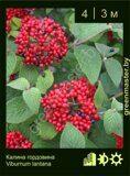 Калина-гордовина-Viburnum-lantana