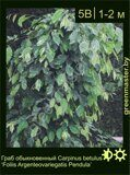 Граб-обыкновенный-Carpinus-betulus-'Foliis-Argenteovariegatis-Pendula'-1
