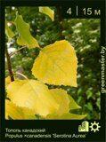 Тополь-канадский-Populus-×canadensis-'Serotina-Aurea'