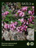 Волчник-карликовый-Daphne-cneorum