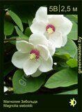 Магнолия-Зибольда-Magnolia-sieboldii