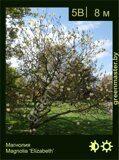Магнолия-Magnolia-'Elizabeth'