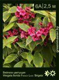 Вейгела-цветущая-Weigela-florida-FRENCH-LACE-'Brigela'