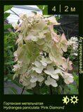 Гортензия-метельчатая-Hydrangea-paniculata-'Pink-Diamond'