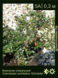 Кизильник-спиральный-Cotoneaster-cochleatus-'Schneider'