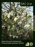 Айва-японская-прекрасная-Chaenomeles-speciosa-'Nivalis'