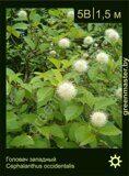 Головач-западный-Cephalanthus-occidentalis
