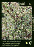 Кизильник-горизонтальный-Cotoneaster-atropurpureus-(horizontalis)-'Variegatus'