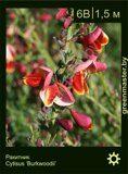 Ракитник-Cytisus-'Burkwoodii'