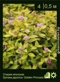 Спирея-японская-Spiraea-japonica-'Golden-Princess'