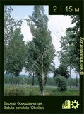 Береза-бородавчатая-Betula-pendula-'Obelisk'