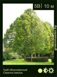 Граб-обыкновенный-Carpinus-betulus