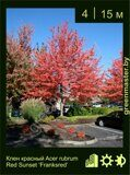 Клен-красный-Acer-rubrum-Red-Sunset-'Franksred'