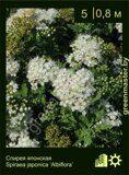Спирея-японская,-Spiraea-japonica-'Albiflora'