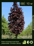 Клен-остролистный-Acer-platanoides-'Crimson-Sentry'