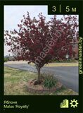 Яблоня-Malus-'Royalty'