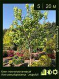 Клен-ложноплатановый-Acer-pseudoplatanus-'Leopoldii'