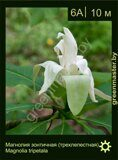 Магнолия-зонтичная-(трехлепестная)-Magnolia-tripetala