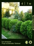 11-Туя-западная-Thuja-occidentalis-'Globosa'