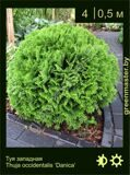 6-Туя-западная-Thuja-occidentalis-'Danica'