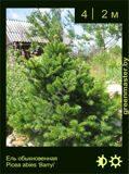 5-Ель-обыкновенная--Picea-abies-'Barryi'