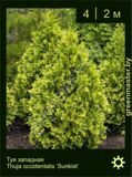 30-Туя-западная-Thuja-occidentalis-'Sunkist'