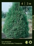 10-Туя-западная-Thuja-occidentalis-'Frieslandia'