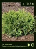 20-Туя-западная-Thuja-occidentalis-'Little-Champion'