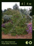 2-Ель-обыкновенная--Picea-abies-'Acrocona'