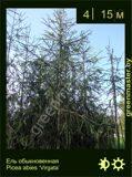 26-Ель-обыкновенная-Picea-abies-'Virgata'
