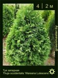 35-Туя-западная-Thuja-occidentalis-'Wareana-Lutescens'