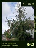 6-Ель-обыкновенная--Picea-abies-'Cranstonii'1