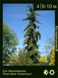 23-Ель-обыкновенная-Picea-abies-'Rothenhaus'