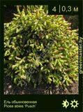 21-Ель-обыкновенная-Picea-abies-'Pusch'