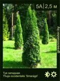 27-Туя-западная-Thuja-occidentalis-'Smaragd'