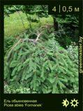 9-Ель-обыкновенная--Picea-abies-'Formanek'1