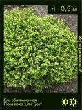 13-Ель-обыкновенная--Picea-abies-'Little-Gem'