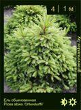 16-Ель-обыкновенная-Picea-abies-'Ohlendorffii'