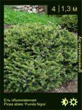 20-Ель-обыкновенная-Picea-abies-'Pumila-Nigra'1