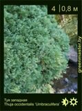 33-Туя-западная-Thuja-occidentalis-'Umbraculifera'