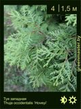 17-Туя-западная-Thuja-occidentalis-'Hoveyi'