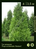 4-Туя-западная-Thuja-occidentalis-'Brabant'