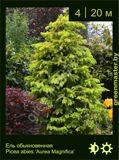 4-Ель-обыкновенная--Picea-abies-'Aurea-Magnifica'