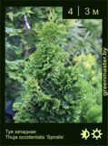 28-Туя-западная-Thuja-occidentalis-'Spiralis'
